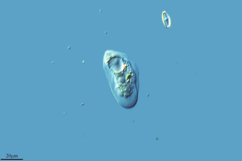 Image of <i>Thecamoeba quadrilineata</i>