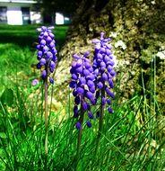 Image of Grape hyacinth