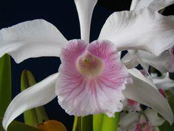 Image of <i>Cattleya purpurata</i> (Lindl. & Paxton) Rollisson ex Lindl.