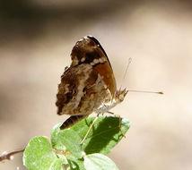 Image of <i>Anthanassa texana</i>
