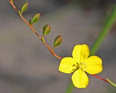 Image of seaside primrose-willow