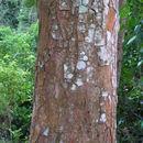 Image of <i>Plathymenia reticulata</i> Benth.