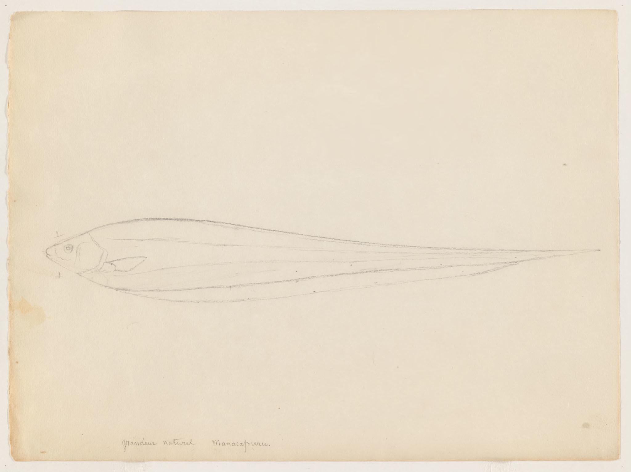 Image of <i>Eigenmannia macrops</i> (Boulenger 1897)