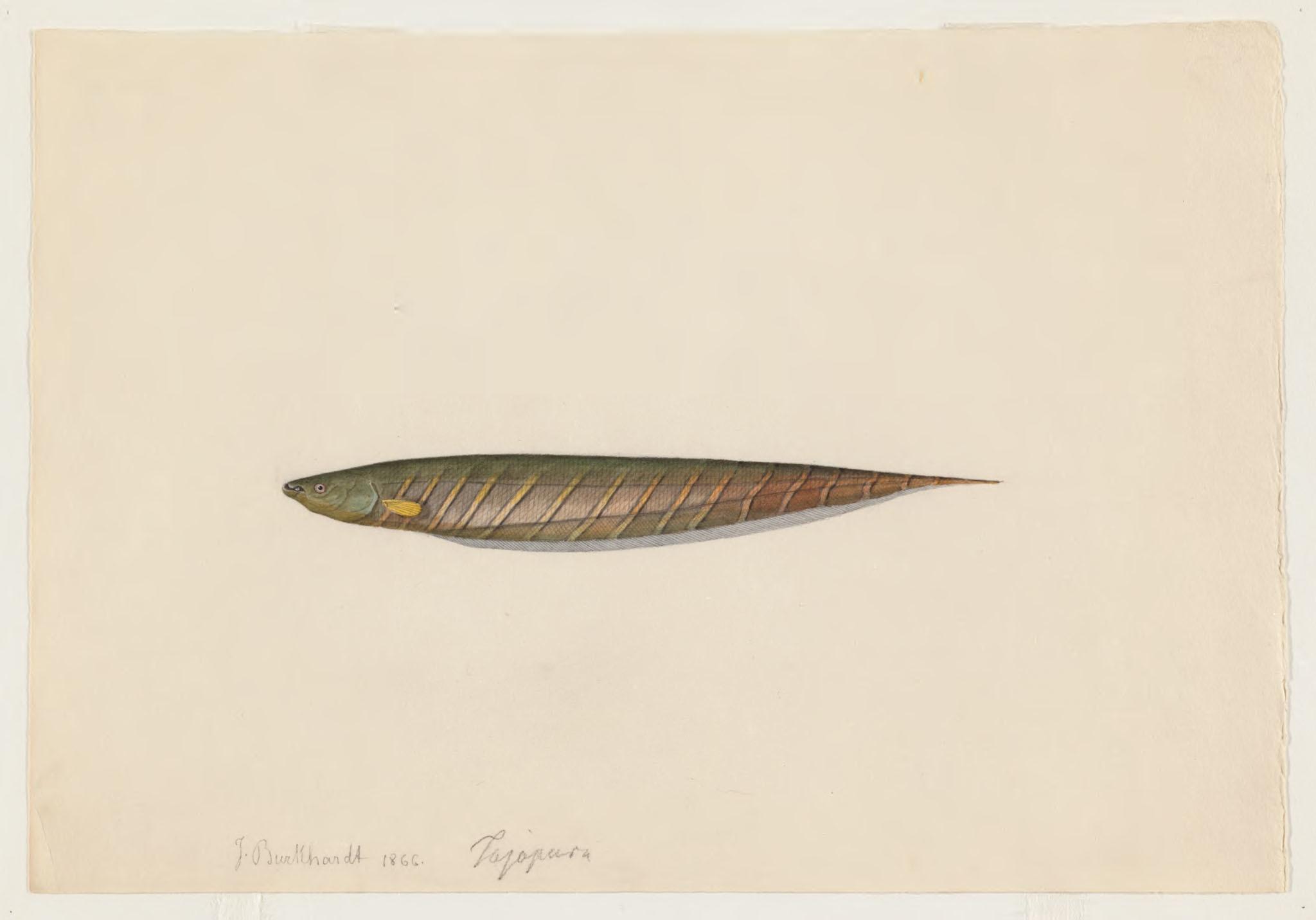 Image of <i>Gymnotus mamiraua</i> Albert & Crampton 2001
