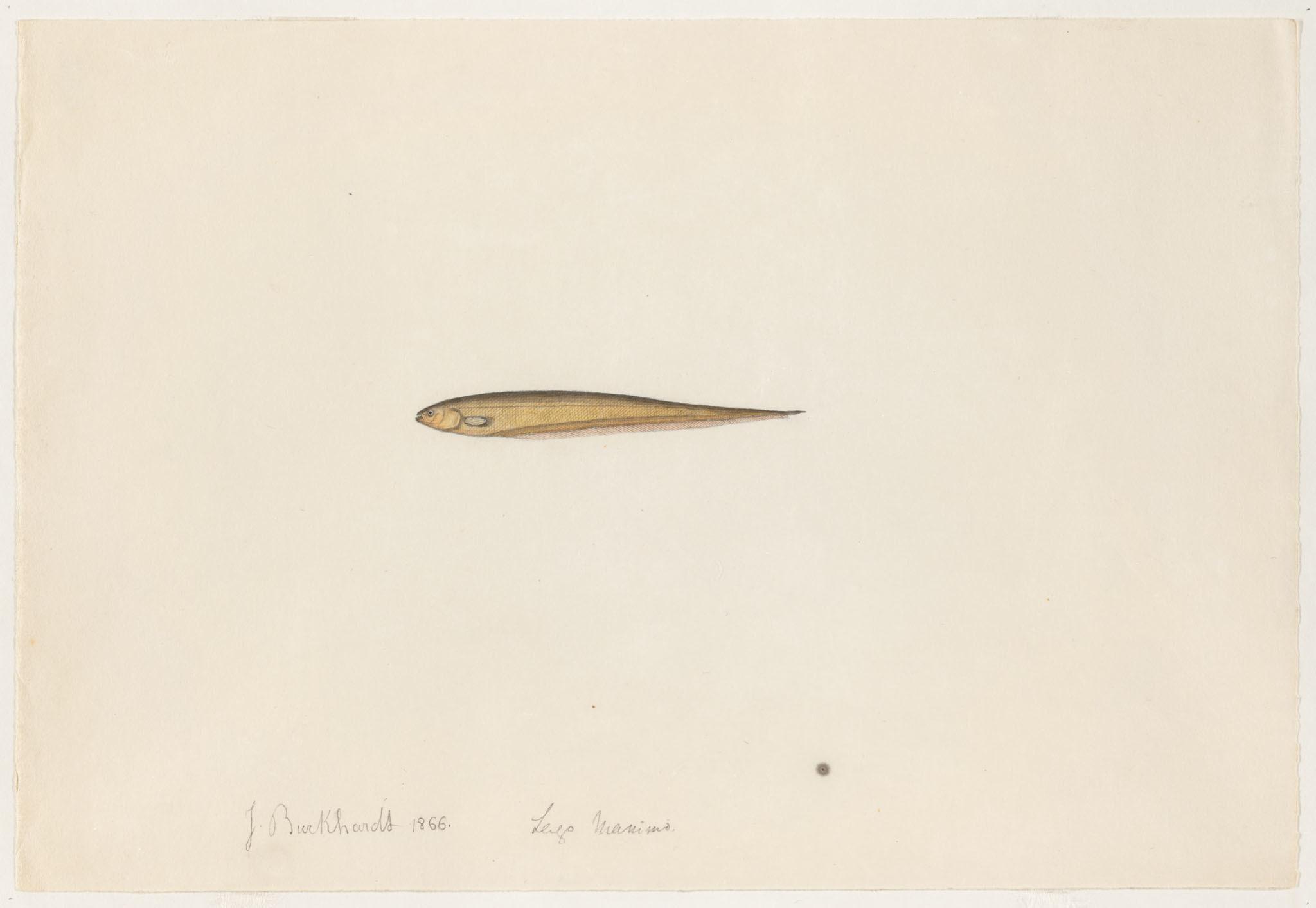 Image of <i>Microsternarchus bilineatus</i> Fernández-Yépez 1968