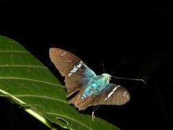 Image of <i>Astraptes fugerator</i>