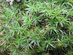 Image of <i>Dawsonia longiseta</i> Hampe 1860