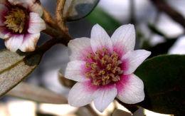Image of <i>Atherosperma moschatum</i> ssp. <i>integrifolium</i> (A. Cunn. ex Tul.) Schodde