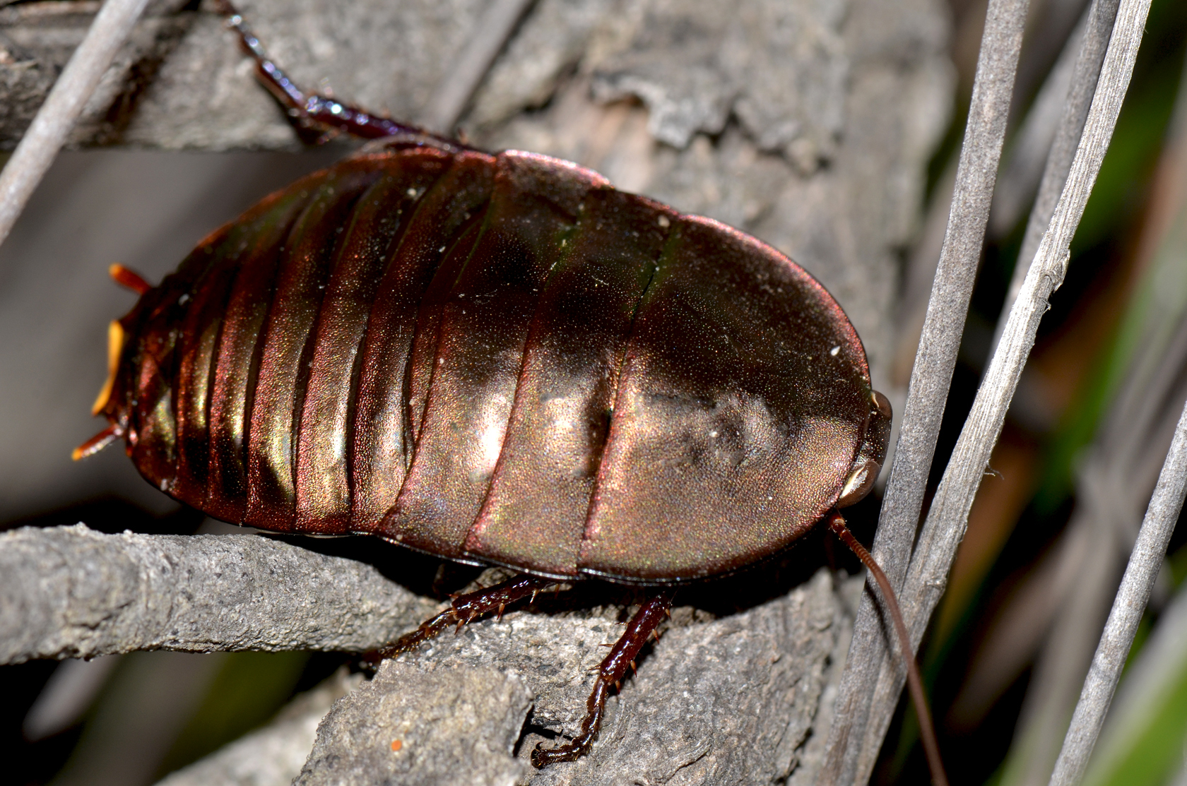 Image of Bronze Cockroach