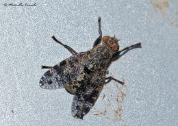 Image of <i>Platystoma lugubre</i> (Robineau-Desvoidy 1830) Robineau-Desvoidy 1830