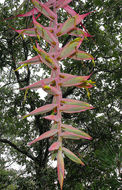 Image of <i>Tillandsia prodigiosa</i> (Lem.) Baker
