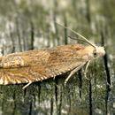 Image of <i>Eucosma hohenwartiana</i>