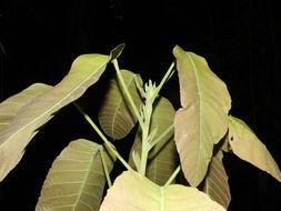 Image of <i>Sloanea zuliaensis</i> Pittier