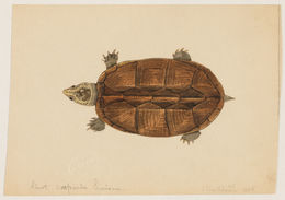 Image of Scorpion mud turtle