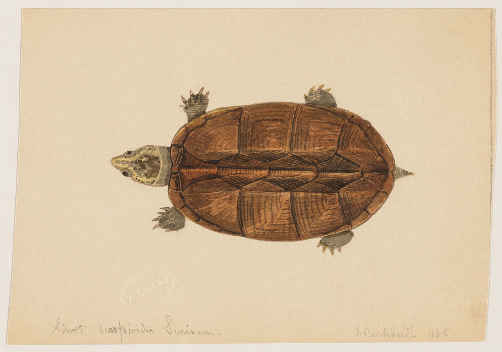 Image of Scorpian mud turtle