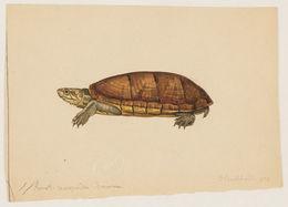 Image of Scorpian mud turtle