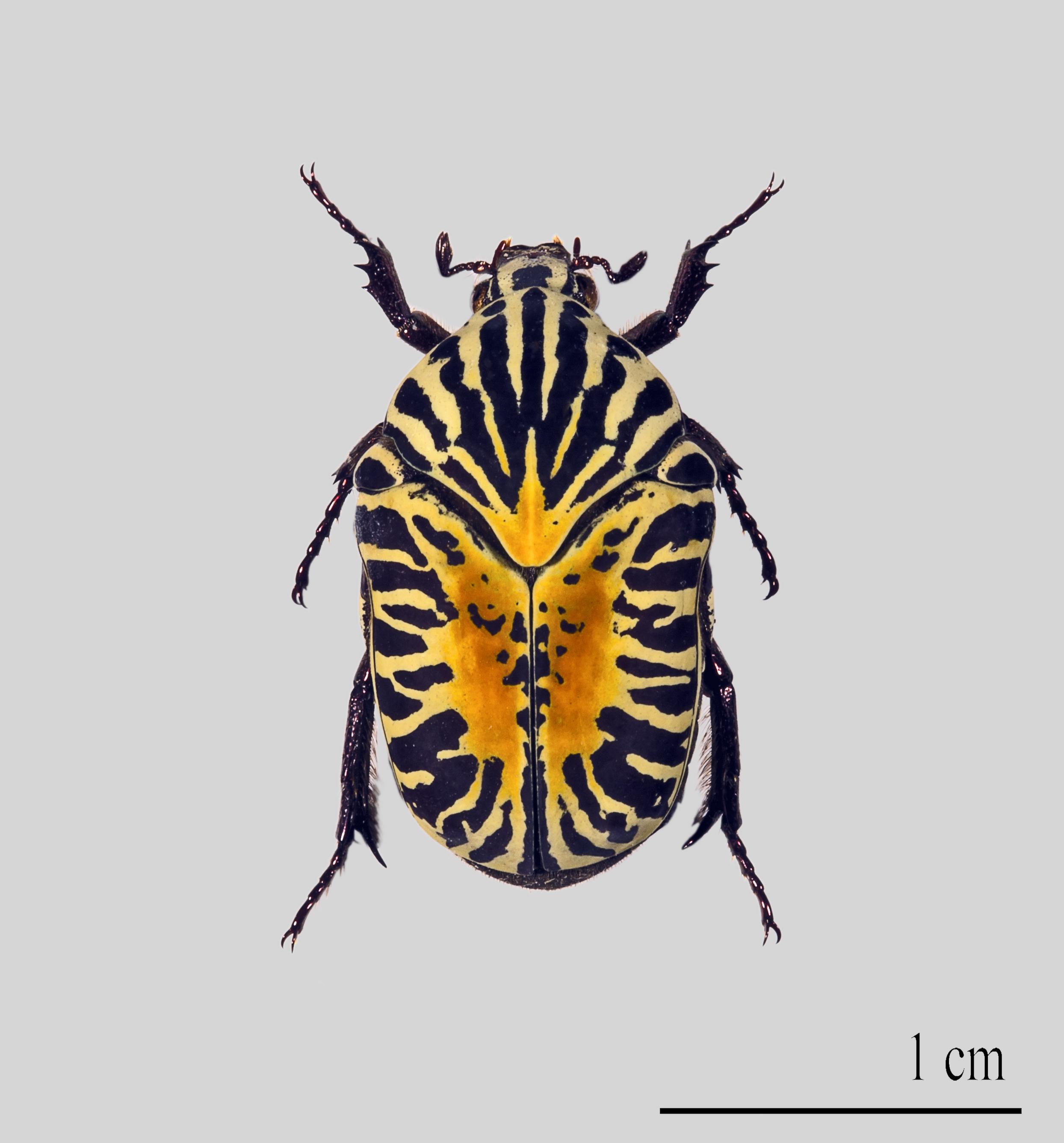Image of <i>Gymnetis stellata</i> (Latreille 1833)