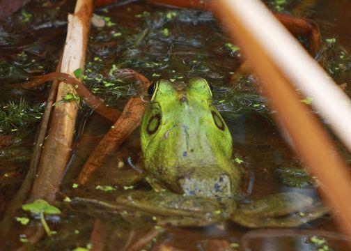 Image of Pig Frog