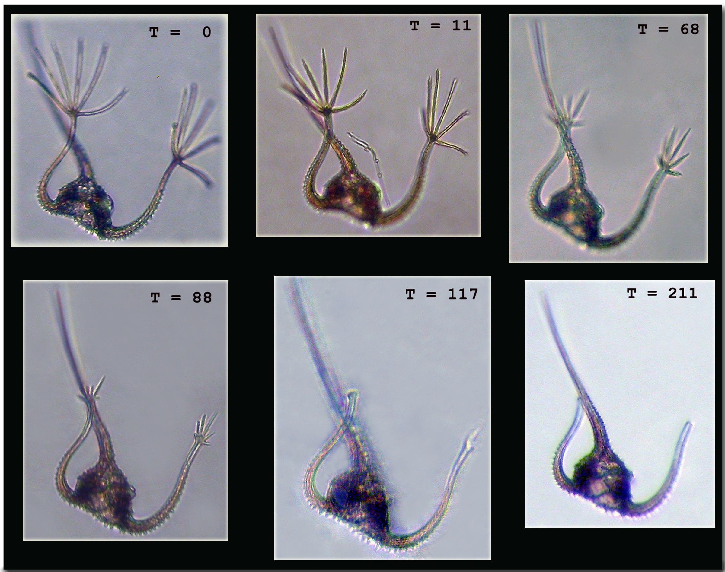 Image of <i>Ceratium ranipes</i>