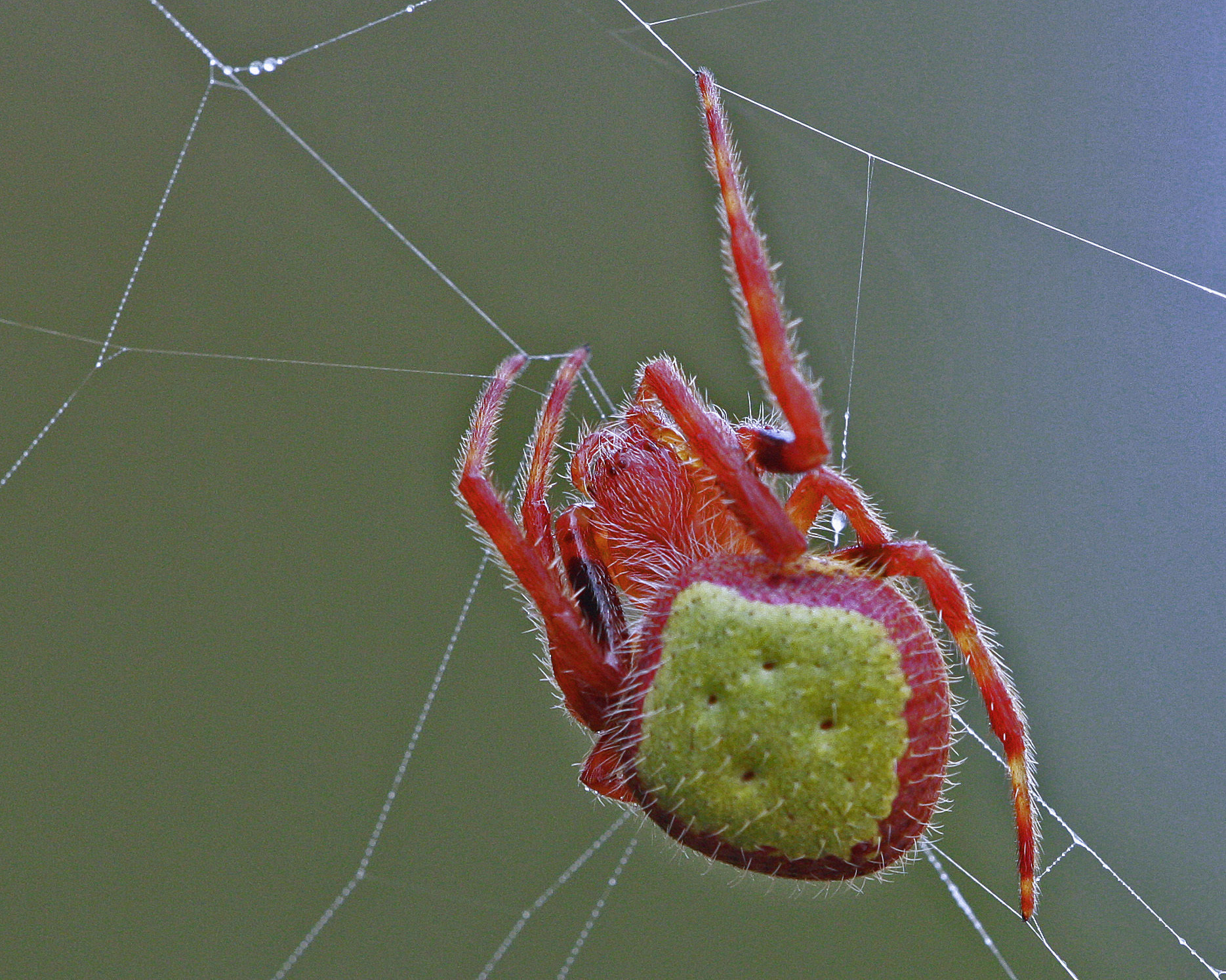 Image of Tropical Orb Weaver