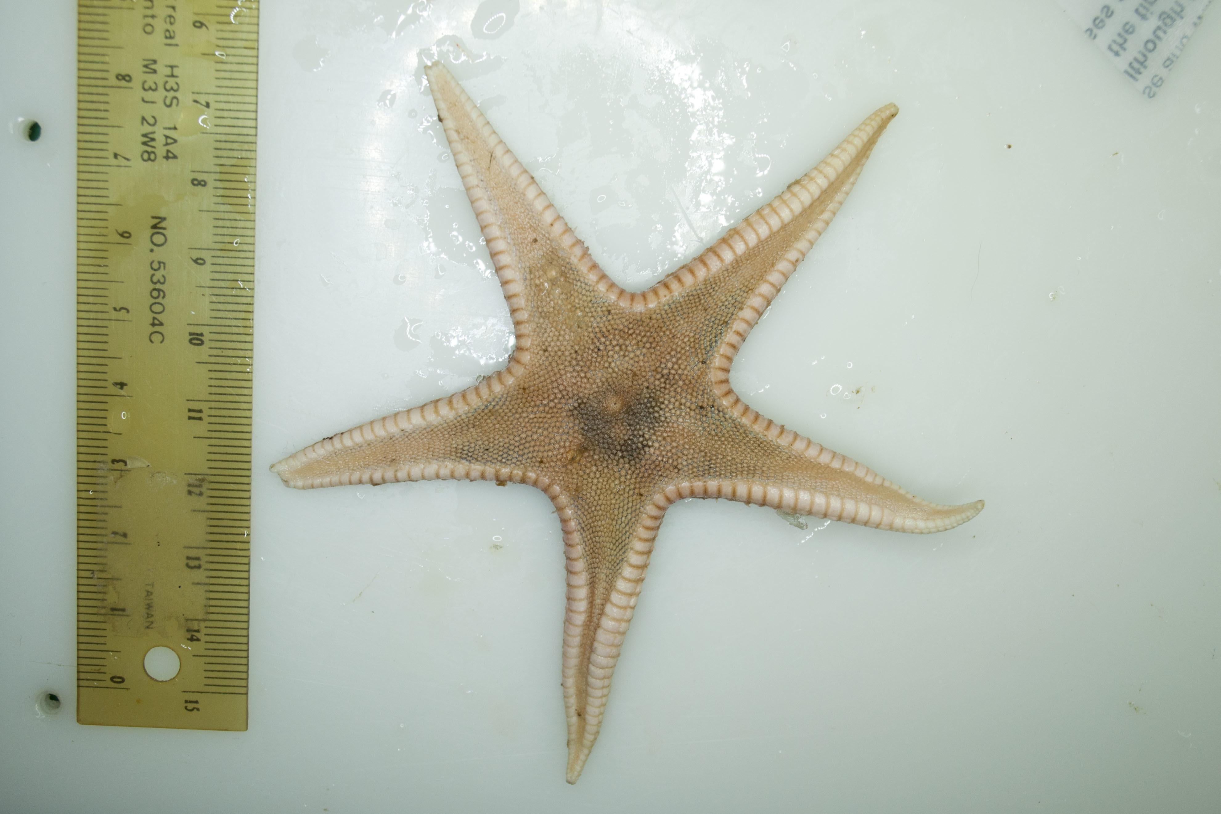 Image of <i>Psilaster andromeda</i> (Müller & Troschel 1842)