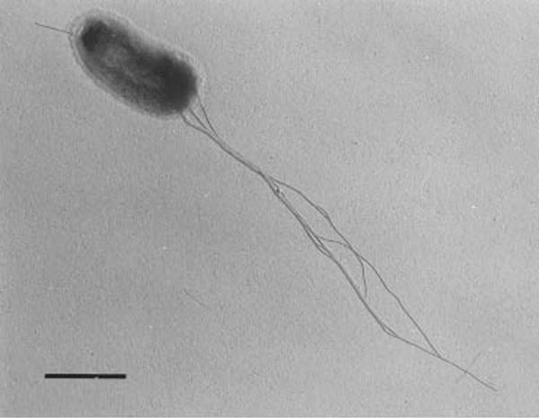 Image of <i>Hydrogenothermus marinus</i>