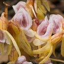 Image of Ghost orchid