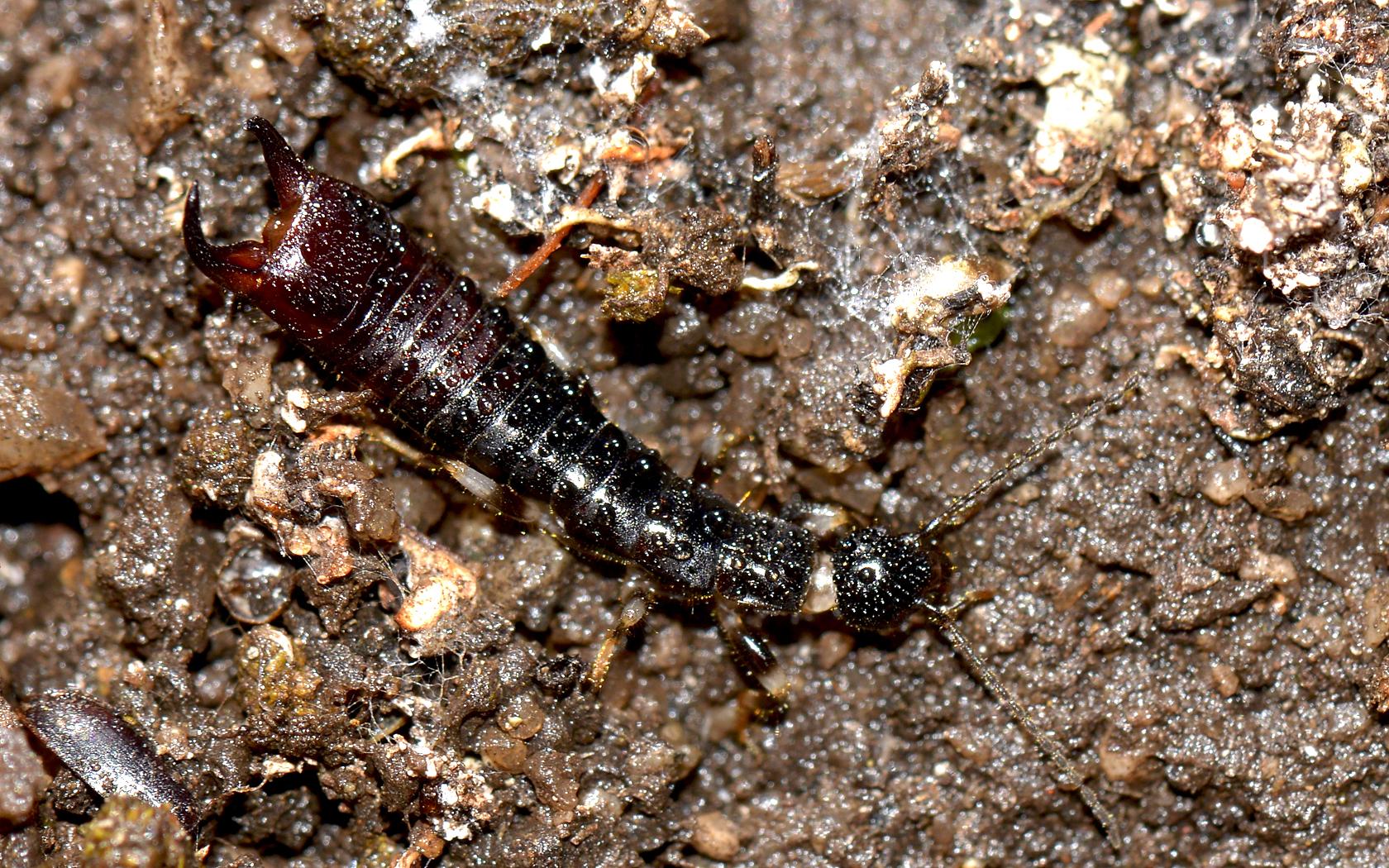 Image of Ringlegged earwig