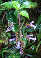 Image of <i>Palicourea adusta</i> Standl.