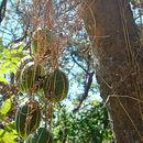 Image of <i>Polyclathra cucumerina</i> Bertol.