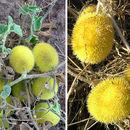 Image of hedgehog gourd