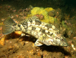 Image of Large kelpfish