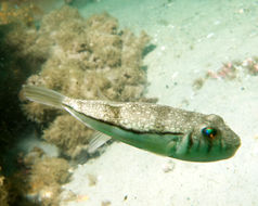 Image of Banded Toadfish