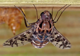 Image of Tiger Bee Fly