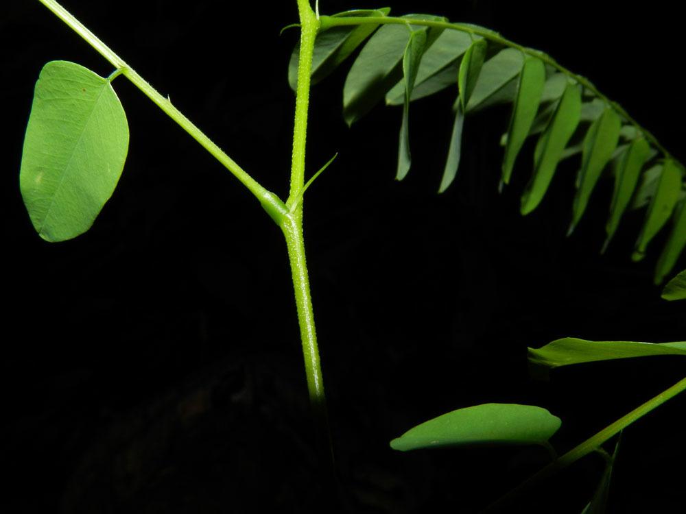 Image of <i>Uribea tamarindoides</i> Dugand & Romero