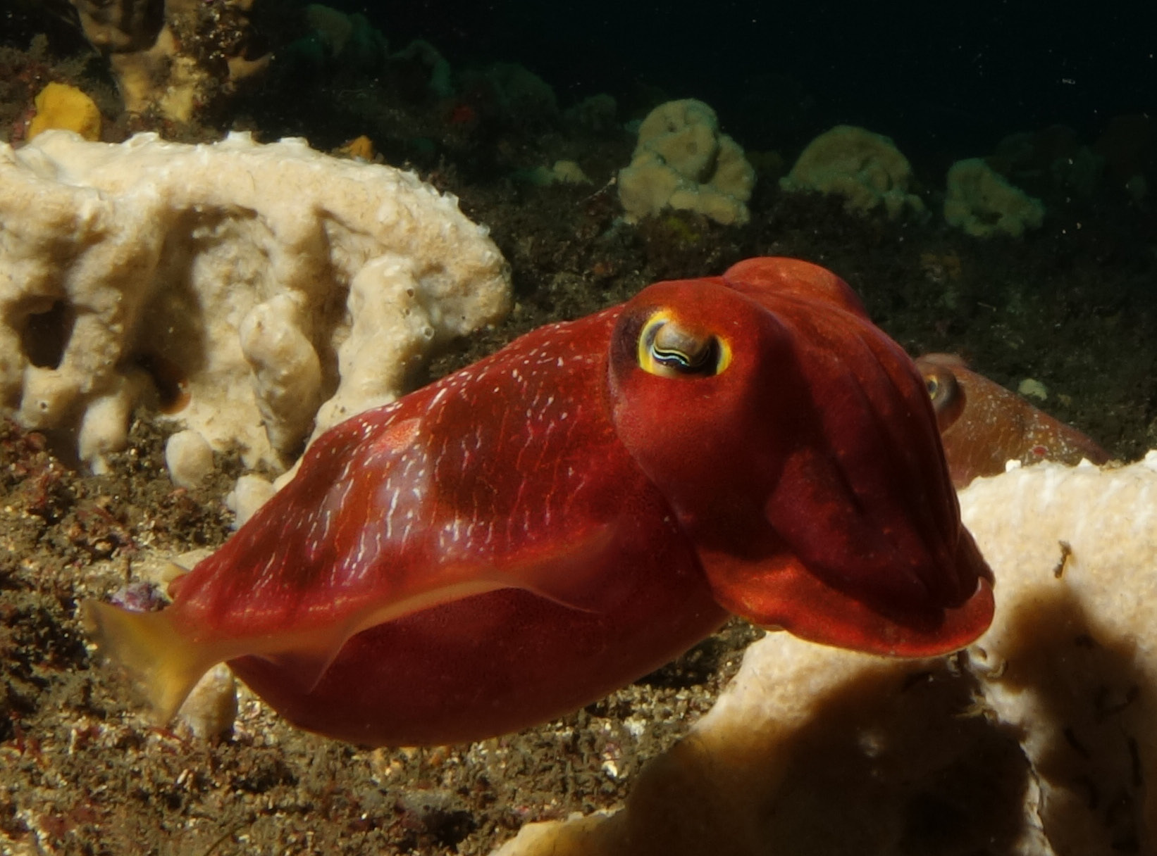 Image of Reaper cuttlefish