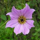 Image of Tree dahlia