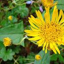 Image of <i>Munnozia senecionidis</i> Benth.