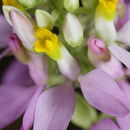 Image of Curtiss' milkwort