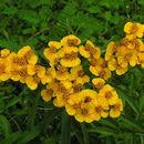 Image of sweetscented marigold