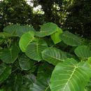 Image of <i>Ficus nymphaeifolia</i> Mill.