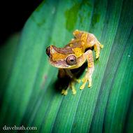 Image of Hourglass Treefrog