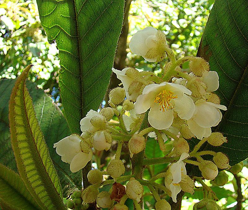 Image of <i>Saurauia madrensis</i> B. T. Keller & D. E. Breedlove