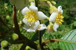 Image of <i>Saurauia montana</i> Seem.
