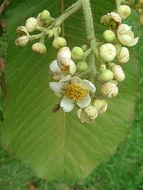 Image of <i>Saurauia scabra</i> (H. B. K.) Dietr.