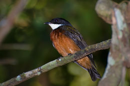 Image of Flame-crested Manakin