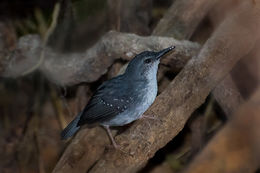 Image of Silvered Antbird