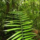 Image of <i>Neonicholsonia watsonii</i> Dammer