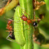 Слика од <i>Camponotus floridanus</i> (Buckley 1866)