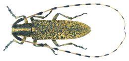Image of <i>Agapanthia persica</i>